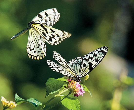 雄性蝴蝶在求偶时,常常绕着雌性不断拍打翅膀,一边跳舞,一边向女方传递来自鳞片和腺体的化学气味和信息素。这种信息素如同雌雄蝴蝶之间的密码,只有它们自己能读懂,雄蝶就是通过这种无声的甜言蜜语发动攻势。一旦求婚成功,就可以双宿双栖了。