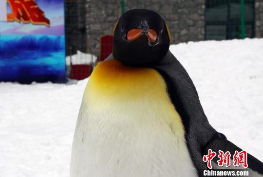 动物 企鹅 540_364