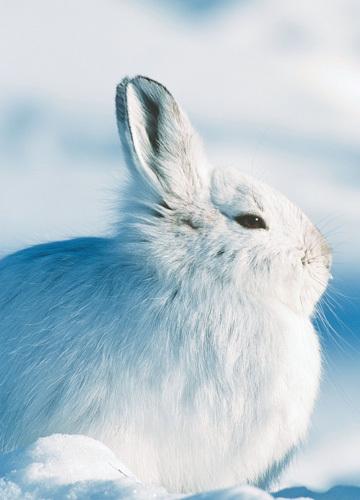慵懒的雪兔