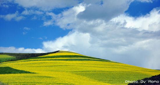 金黄的大地,给人喜庆的感觉 摄影:默墨