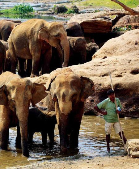大象孤儿院里的几十只大象正在一起河中沐浴