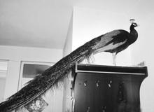 衡水市民捡到孔雀