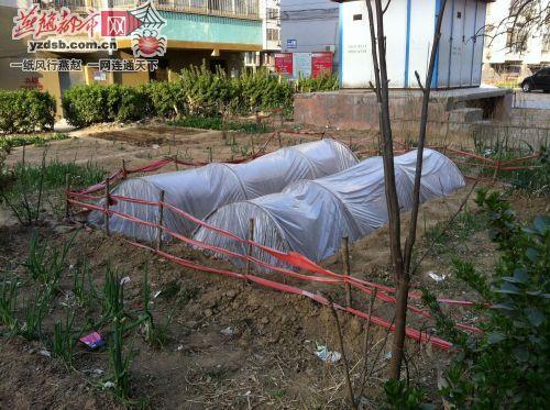 [衡水]小区绿地变身菜园停车场