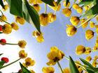植物园郁金香翘首迎客