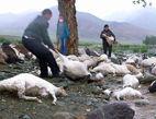 新疆173只羊遭雷击死亡