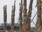 98棵天价古树集体死亡