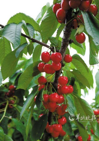 白玉樱桃 唯美壁纸