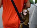 小狒狒认人作母不愿回园