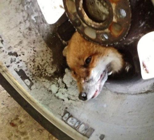 英一狐狸钻车轱辘头被卡盘点动物离奇被卡事件