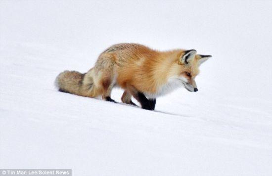 聪明狐狸听声辨位跃入积雪捕猎(图)