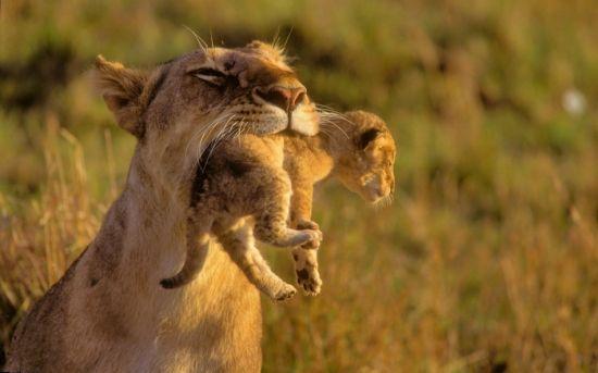 动物也温情:凶猛母狮口叼幼子展母性柔情