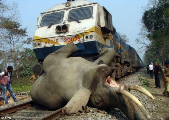 印度大象过铁轨时被高速火车撞死(图)