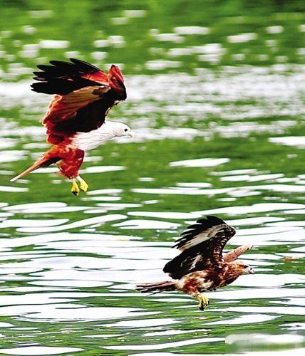 海上观鹰是离岛游的环节之一