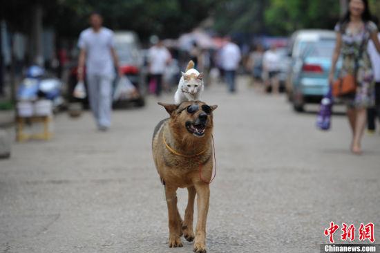 昆明街头:墨镜狗载小白猫逛街兜风
