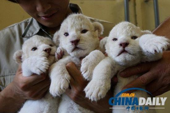 日本珍稀白獅幼崽曝光溫順似小綿羊(組圖)