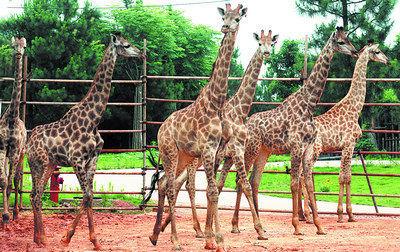 石家庄动物园首次引进南非长颈鹿(图)
