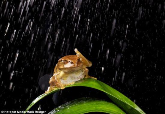 """孔雀树蛙雨中""""泪眼""""朦胧"""