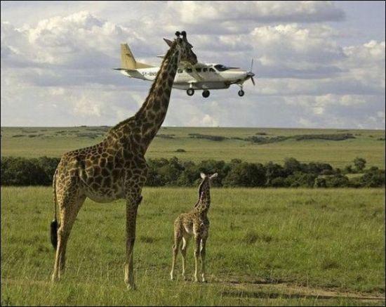 11月25日11时,24头长颈鹿从南非约翰内斯堡乘坐波音747飞机从南非起飞。途中26日凌晨3点45分在新加坡停靠,12点45分起飞往昆明,于26日下午16点15分到达长水国际机场。据悉,这也是全国最大规模长颈鹿引进。   长颈鹿将乘专机波音747   此次来到云南野生动物园的24头长颈鹿均是幼年长颈鹿。这24头长颈鹿中有6头是雄性、18头是雌性。   为了能让这些长颈鹿顺利安全到达昆明,24头长颈鹿从南非约翰内斯堡乘坐专机抵达长水国际机场。为此,随机的人员还配备了国外专业兽医全程观察监测长颈鹿在运