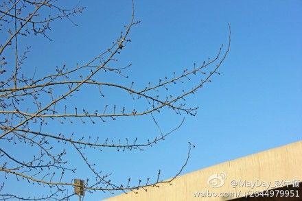 石家庄杨树发芽 这是春天的节奏吗
