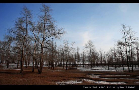 张家口秋冬白桦林