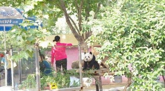 网曝熊猫被逼坐台吃窝头 动物园或存在私人承包