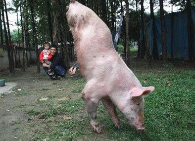 """实拍天生两条腿""""猪坚强""""倒立走路"""