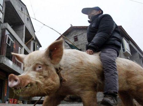 重庆68岁老汉骑猪逛街 引路人围观