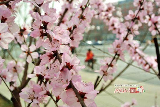 街头樱花。