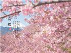 血腥的绚烂:2014日本最美樱花图赏