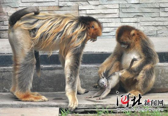 石家庄动物园成功繁育金丝猴