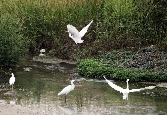 的野生动物白鹭