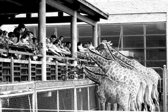动物园长颈鹿馆,喂鹿游客明显比平时多出许多