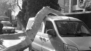 石家庄大风刮倒大树压住汽车