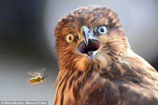 黃蜂快速移動老鷹瞬間嚇呆