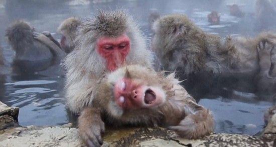 日本雪猴泡溫泉取暖享受表情萌翻游客