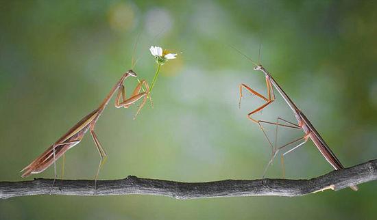 印尼攝影師抓拍螳螂獻花求愛場景