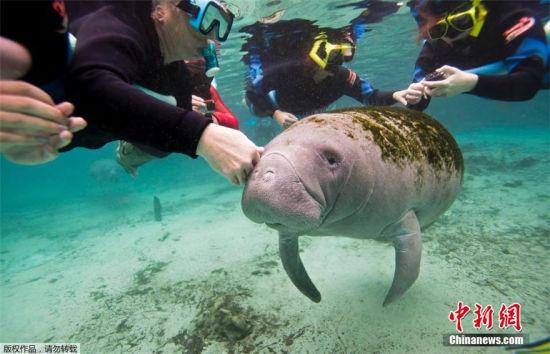 海牛佛羅里達州度暖冬與游人水下共舞