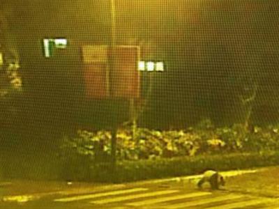 大熊猫深夜现身街头 悠闲逛街走斑马线过马路