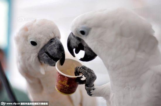 一對鸚鵡每天飲茶喝咖啡主人稱其已上癮