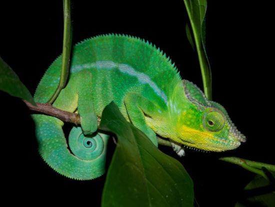 科學家揭開變色龍變色之謎