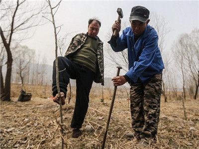 残障兄弟合力种树