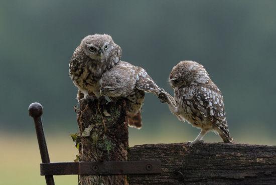 英國小貓頭鷹求抱抱溫馨照片走紅