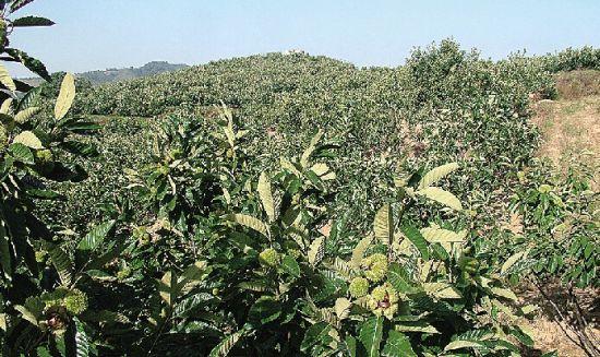 秦皇岛燕山板栗食品有限公司年收购,加工,销售生鲜板栗总量达5000吨