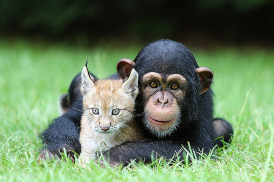 美动物园小黑猩猩与小猞猁成铁哥们片刻不分离