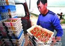 隆化四季草莓种植面积达4000多亩