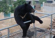 记者见证活熊取胆全过程