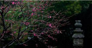 上海早春赏梅正当时