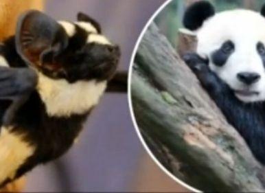 学者发现熊猫蝙蝠