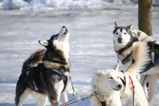 狼爸训狼拉雪橇