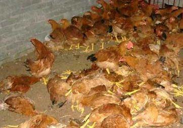 猫头鹰夜闯鸡棚吓死5000只鸡